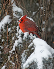 Photo: Mr. Cardinal, glowing like an ember in the snow