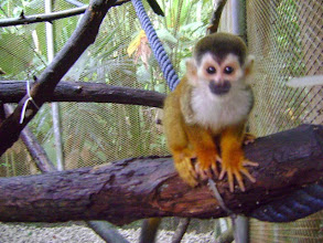 Photo: Young male titi monkey named Peeta adopted by 3rd, 4th, and 5th grade YES Focus Students, Loganville, GA 4/2012