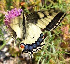 Photo: Papilio machaon