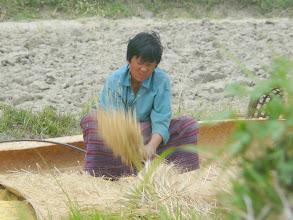 Photo: Der Reis wird gedroschen.