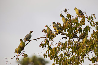 Photo: African green pigeons
