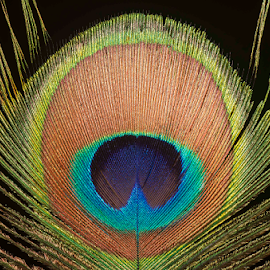 Peacock Feather by Martha van der Westhuizen - Nature Up Close Other Natural Objects ( feather, macro, colour, close-up, design, peacock )