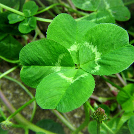 GIANT 4 LEAF CLOVER by Karen Tucker - Nature Up Close Other plants ( macro, green, nature, good luck charm, clover, nature up close, .lucky charm, good luck, colour, leaves, in my garden, plant, 4 leaf clover,  )