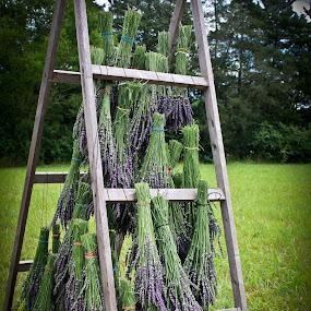 Lavender Harvest by Mitch Lassiter - Nature Up Close Flowers - 2011-2013 ( farm, lavender fields, harvest, flowers, lavender )