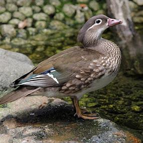 grouse by Pitt N Sartoni - Animals Birds