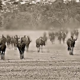 Bluewildebeest - Dry Season - Kgalagadi by Pieter J de Villiers - Black & White Animals