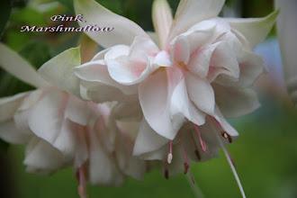 Photo: Pink Marshmallow