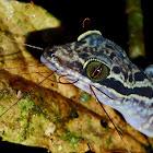Sabah Bow-Fingered Gecko