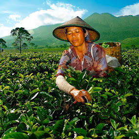 In the tea field by Hatdy Tridjaja - Professional People Agricultural Workers ( mountain, gunung, traditional, teh, tea field, labour, buruh )