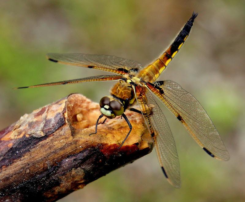 Odonata di ringhio