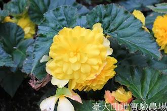 Photo: 拍攝地點: 梅峰-溫帶花卉區 拍攝植物: 球根秋海棠 拍攝日期:2013_09_28_FY