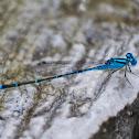 Blue -Tailed Damselfly