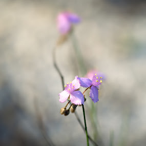 tiny dancers by Debi Henry - Animals Other ( purple flowers, airy, faded, bokeh, soft )