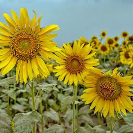 by Mohsin Raza - Flowers Flower Gardens