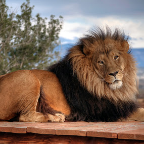 King Of The Jungle by Eddie Yerkish - Animals Lions, Tigers & Big Cats ( lion, wild, cat, roar, mane, wildlife, the, king, tail, of, nature, jungle, paws, big, animal )