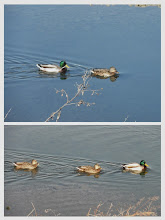 Photo: 撮影者:sayoko sato 鳥名:マガモ タイトル:鳥のお祭り見たい 観察年月日:2014年1月7日 羽数:7羽 場所:ふれあい橋上流 区分:行動 メッシュ:武蔵府中3K コメント:初めマガモたちはカワウやほかの鳥たちとともにダイサギと一緒に行動していたが、ダイサギたちが飛び去った後、2組は上流に向かって泳ぎだした。