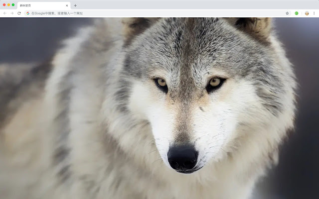 Wolf HD New Tabs Popular Animals Themes