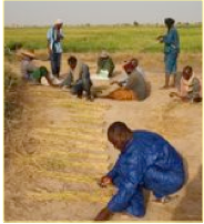 Photo: Timbuktu, Mali, West Africa. October 2008. Farmers collect data on 16 plants from SRI and control plots. [Photo by Erika Styger]
