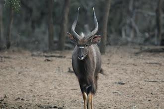 Photo: Mkhuze Game Reserve. Nyala