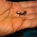 Collared Streak Lizard (baby)