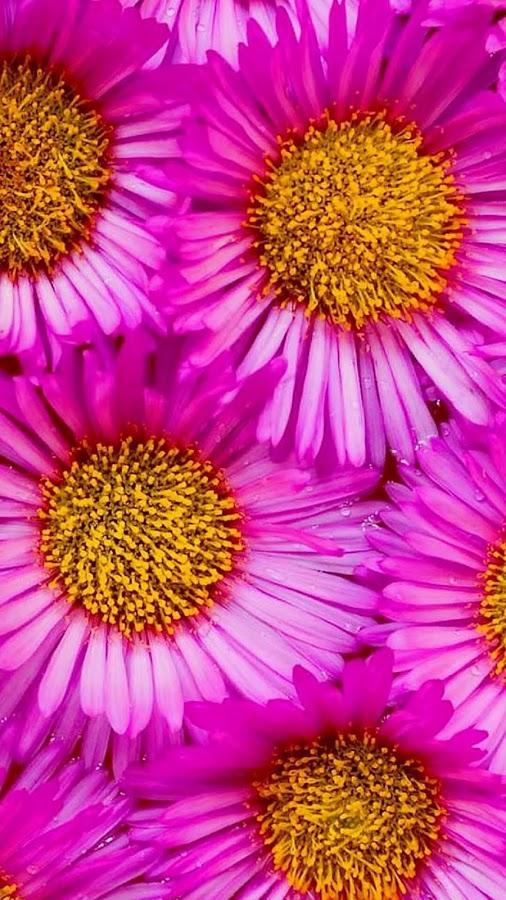 وردة الصبر و الحب وردة النجم الان في تطبيق خاص مع صور جميلة لجعلها خلفية لجهازك T8wxOh0IV-4u6WAGLVb4