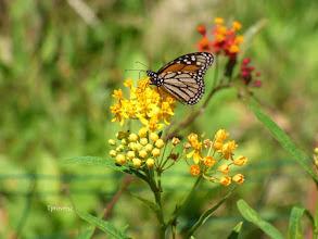 Photo: Monarch Tony Provenzano