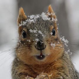 snow squirrel by Lyn Simuns - Animals Other Mammals ( squirrel, closeup, snow, backyard, cute,  )