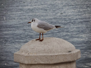 Photo: The little gull was just too cute to pass up!