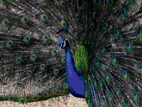 Port Elizabeth man subpoenaed over peacock killing