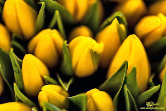 Photo: Yellow Tulips