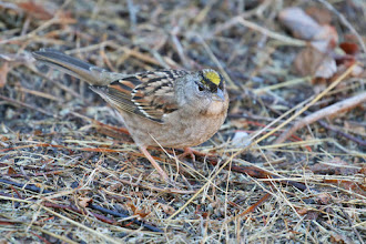 Photo: Golden-crowned Sparrow