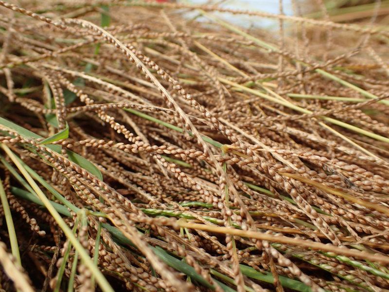 Culture du fonio  : Tiges de fonio en tas, prêt à être récolté