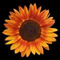 Sunflower Wallpaper 4k APK