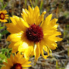 Common Blanketflower