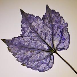 Prepared leaf  by Stefan Klein - Nature Up Close Leaves & Grasses ( nature, tree, artistic, still life, leaf )