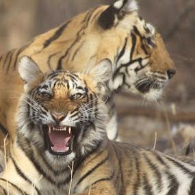 Royal Bengal Tiger by Kedar Banerjee - Novices Only Wildlife ( national forest, stripped, tiger, india, wildlife )