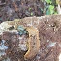 Cellar slug