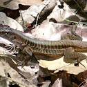 Rainbow Ameiva (female)