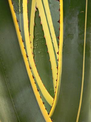 AGAVE di commodoro