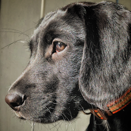 Black lab by Anthony Doyle - Animals - Dogs Portraits ( labrador, springador, black, dog, pet )