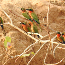 Red-throated bee eaters by Chris Roughley - Uncategorized All Uncategorized ( bird, gambia, wildlife,  )