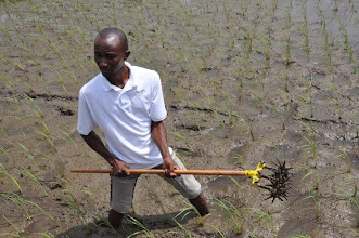 Photo: Farmer displaying a single-row manual weeder in Paynesville, Monrovia, Liberia. (Photo by Erika Styger, Feb 2014)
