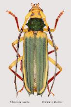 Photo: Chlorida cincta, 31 mm, Costa Rica, Corcovado NP (08°27´/-83°29´), leg. & det. Erwin Holzer