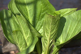 Photo: Skunk cabbage leaves, 4.26.11