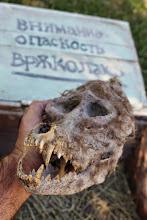 Photo: Real werewolf skull found in Novo Selo, close to Stip in Macedonia #werewolfskull #bulgaria #werewolf #skull #legend #halloween #bulgarian #Vrykolakas #Vrykolaka #vourdoulakas #Varkolak #