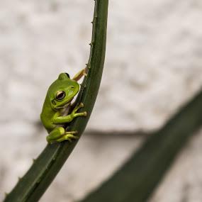 The Climb by Deborah Bisley - Animals Amphibians ( frog, plants, reptile, garden, green frog,  )