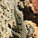 Moroccan rock lizard