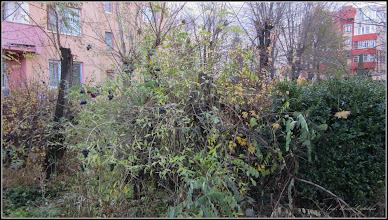 Photo: Lemn câinesc (Ligustrum vulgare) - de pe Calea Victoriei, B16 - 2017.11.19
