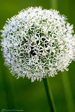 Photo: White Allium, Boston, MA