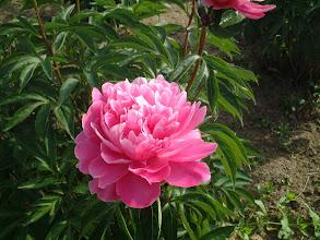 Photo: エジェリスシュパーバ 強健で株立ち良く切り花用や庭園植え込み用に適する